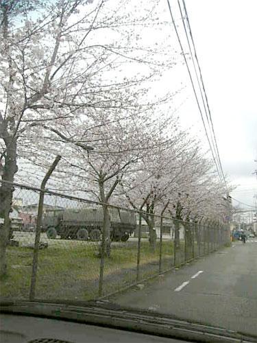 sakura-.jpg